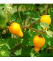 Solanum mammosum - prodej semen Praha - 5 ks