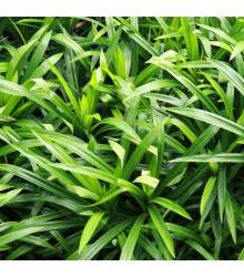 Palmová tráva - Setaria palmifolia - osivo palmové trávy - 10 ks