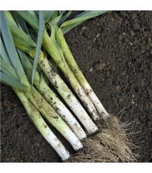 Pór D´Elbeuf - Allium porrum - osivo póru - 200 ks