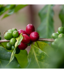 Kávovník arabský - Coffea arabica - semena kávovníku - 5 ks