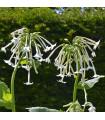 Tabák planý - Nicotiana sylvestris - prodej semínek - 200 ks
