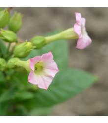 More about Tabák Orinoco - Nicotiana tabacum - semena tabáku - 25 ks