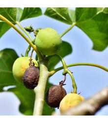 Dávivec černý - Jatropha curcas - prodej semen dávivce - 5 ks