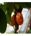 Kakaovník pravý- Theobroma cacao- semena Kakaovníku- 5 ks