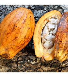 Kakaovník pravý žlutý - Theobroma cacao - semena kakaovníku - 5 ks
