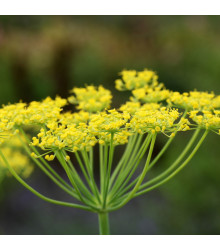 BIO fenykl kořeninový - Foeniculum ssp. - bio osivo fenyklu - 0,3 g