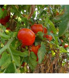 More about BIO rajče Taste F1 - Lycopersicon Esculentum - bio osivo rajčat - 10 ks