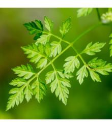 BIO Kerblík setý - Anthriscus cerefolium crispum - bio semena kerblíku - 0,8 g
