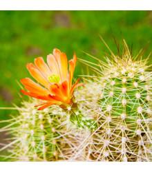 More about Kaktus Echinocereus mix - prodej semen - 4 ks