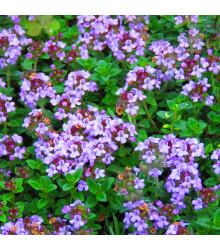 Tymián obecný - Thymus vulgaris - semena tymiánu - 0,08 g