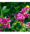 Hrachor vonný růžový - Lathyrus odoratus - prodej semen - 20 ks