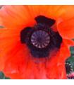 Mák turecký - Papaver glaucum - semena máku - 0,6 gr