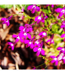 More about Lobelka převislá Color Cascade - Lobelia erinus pendula - osivo lobelky - 0,1 g