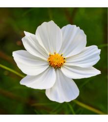 Krásenka zpeřená Bílá senzace - Cosmos bipinnatus - osivo krásenky - 40 ks