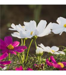 Krásenka zpeřená Sonata - Cosmos bipinnatus - osivo krásenky - 20 ks