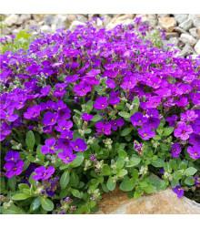 Tařička zahradní fialová - Aubrieta hybrida - osivo tařičky - 200 ks