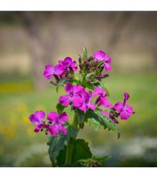 Měsíčnice dvouletá fialová - Lunaria biennis - semena měsíčnice - 50 ks