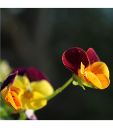 Maceška Jolly Joker F2 - Viola wittrockiana - osivo macešky - 20 ks