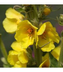 Divizna velkokvětá - Verbascum densiflorum - semena divizny - 300 ks