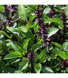 Bazalka pravá Spice - Ocimum basilicum Spice Basil - osivo bazalky - 30 ks