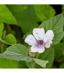 Proskurník lékařský - Althaea officinalis - prodej semen - 18 ks
