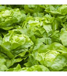 More about Salát hlávkový letní - Dětenická atrakce - semena salátu - 300 ks