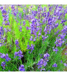 Levandule lékařská - Lavandula angustifolia - osivo levandule - 130 ks
