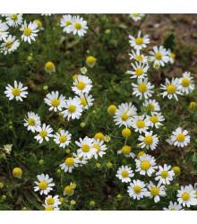 More about Heřmánek pravý - Matricaria recutita - semena heřmánku - 0,5 g