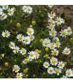Heřmánek- Matricaria recutita- semena Heřmánku- 2000 ks