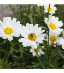 Rmen rolní - Anthemis arvensis - semena rmenu - 0,5 g