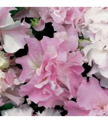 Petúnie Pirouette F1 - Orchid Mist - Petunia grandiflora - osivo petúnie - 20 ks