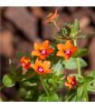 Drchnička rolní - Anagallis arvensis - prodej semen letniček - 20 ks