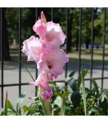 Mečík My Love - Gladiolus - cibule mečíků - 3 ks