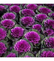 Okrasné zelí Pigeon F1 Purple - Brassica oleracea - osivo okrasného zelí - 20 ks