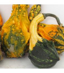 Tykev Indian Little směs - Cucurbita pepo - osivo tykve - 5 ks
