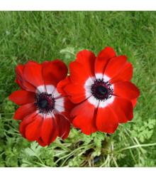 Sasanka Hollandia - Anemone - cibule sasanek - 3 ks