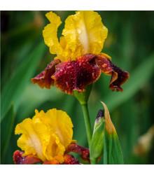 Kosatec Accent - Iris germanica - cibule kosatce - 1 ks