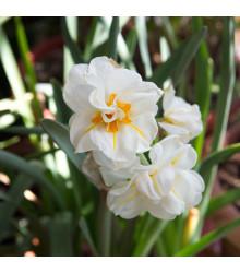Narcis bílý plnokvětý - Sir Winston Churchill - prodej cibulovin - 3 ks