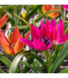 Směs nízkých tulipánů - Tulipa - cibule tulipánů - 24 ks