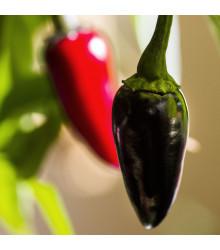 Chilli Black Hungarian - Capsicum annuum - osivo chilli - 6 ks