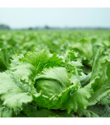 BIO salát Batavia Leny - Lactuca sativa - bio osivo salátu - 100 ks