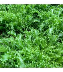 Salát Batavia - Lactuca Sativa - osivo salátu - 800 ks