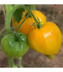 More about Rajče Oranžová jahoda - Lycopersicon lycopersicum - osivo rajčat - 6 ks