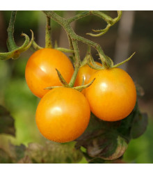 Rajče Artisan Golden Bumble Bee - Lycopersicon esculentum - osivo rajčat - 5 ks