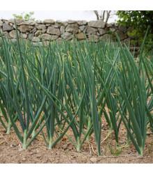 Cibule zimní - Česnek ošlejch - Allium fistulosum - osivo cibule - 120 ks