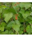 Fazol šarlatový Lady di - Phaseolus coccineus - prodej semen fazole - 10 ks
