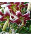 Lilie Leslie Woodriff - lilie orientální - holandské cibuloviny - 1 ks