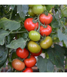 Rajče Crimson Crush F1 - Lycopersicon esculentum - osivo rajčat - 7 ks