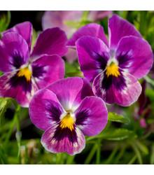 Violka rohatá Sorbet Carmine - Viola cornuta - osivo violky - 20 ks