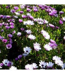 Tvrdosemeník kapský - Osteospermum eclonis asti mix - semena tvrdosemeníku - 6 ks